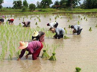 1970s peasant revolts in Thailand - Rice farmers transplanting rice, Chaiyaphum Province