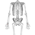 Trapezoid bone 01 palmar view.png