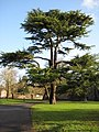 Tree beside the Bishop's Palace, Wells - geograph.org.uk - 1671698.jpg