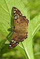 Tricoloured Pied Flat Coladenia indrani by Dr Raju Kasambe DSCN9927 (7).jpg