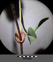 Trifolium campestre sl7.jpg