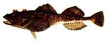 Triglopsis quadricornis (Pieni).jpg