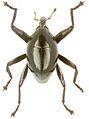 Trigonopterus agilis holotype - ZooKeys-280-001-g004.jpg
