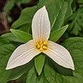 Trillium ovatum - Aldergrove Regional Park.jpg