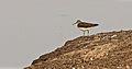 Tringa ochropus by Anis Shaikh 24.jpg