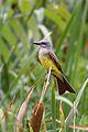 Tropical Kingbird (4303094844).jpg
