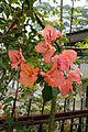 Tropical flowers in Malaysia (28708336390).jpg