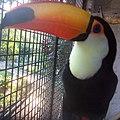 Tucanos-obera.jpg