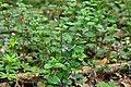 Tudorkovychi Sokalskyi Lvivska-Fedorivka reserve-Glechoma hederacea.jpg