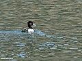 Tufted Duck (Aythya fuligula) (43130854212).jpg
