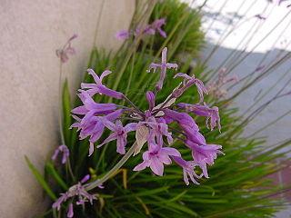 <i>Tulbaghia</i> genus of plants