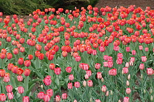 A bed of tulips during the Ottawa Tulip Festiv...