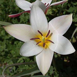 Tulip - Star shaped flower of Tulipa clusiana with three sepals and three petals, forming six identical tepals