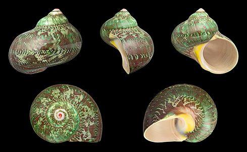 Shell of a Tapestry Turban, Turbo petholatus