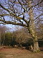 Twisted beech in Gritnam Wood, New Forest - geograph.org.uk - 122992.jpg