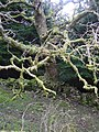 Twisted branches - geograph.org.uk - 692047.jpg
