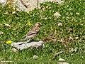 Twite (Carduelis flavirostris) (35714895121).jpg