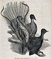 Two Lyre birds, or Menura Alberti birds, perching on a branc Wellcome V0022317.jpg