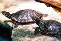 Two Turtles Sunning (20009058813).jpg