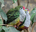 Two beautiful fruit doves.jpg