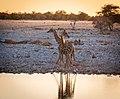 Two headed giraffe (44160797651).jpg