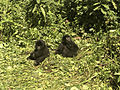 Two silverback gorillas rest in the thick brush after playing in the Virunga Park.jpg