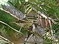 Tytler's Leaf Warbler (Phylloscopus tytleri) (39638080561).jpg