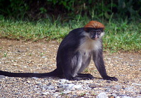 Description de l'image Udzungwa Red Colobus Stevage.JPG.