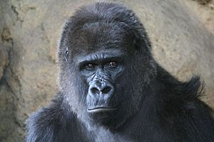 Ueno Zoo - Western lowland gorilla at the Ueno Zoo
