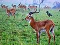 Uganda Kobs (Kobus thomasi) (6934444158).jpg
