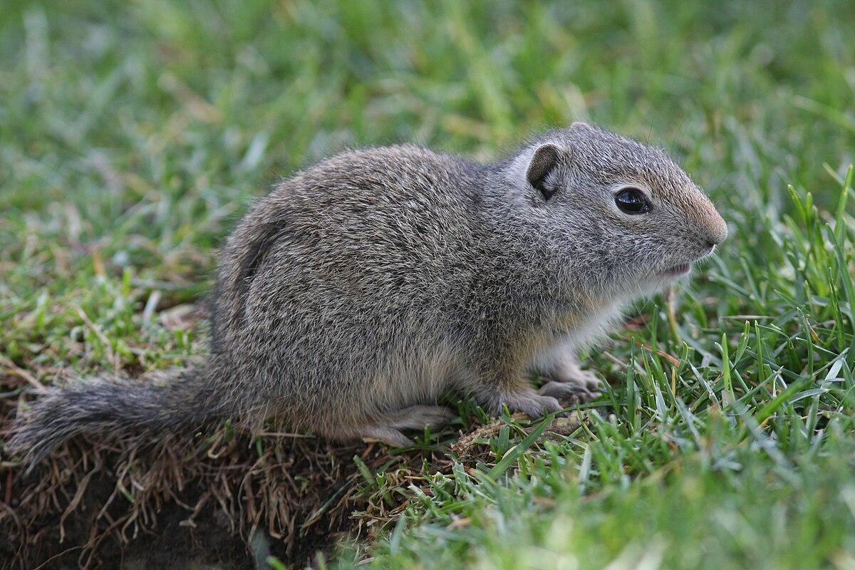 Uinta ground squirrel - Wikipedia