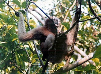 Loktak Lake - Hoolock gibbon seen in the precincts of the Lake in the Keibul Lamjo National Park