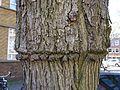 Ulmus glabra Cornuta (amsterdam milletstraat) 160505d.jpg