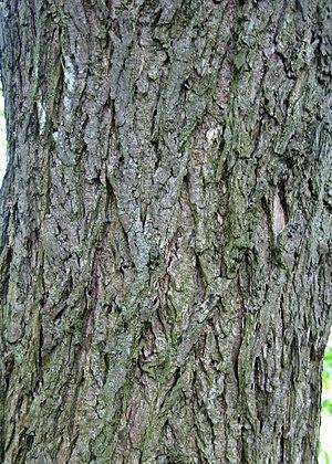 Ulmus thomasii - Image: Ulmus thomasii (meisse) bark