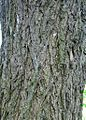 Ulmus thomasii (meisse) bark.jpg