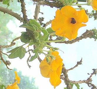 Pedaliaceae - Uncarina grandidieri
