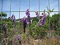 Unknown weed purple scotts valley.JPG