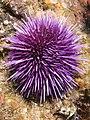 Urchin (9398869414).jpg