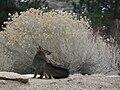 Urocyon cinereoargenteus grayFox backTwirl.jpg