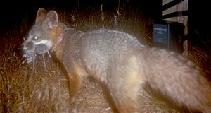 Wildlife of the Channel Islands of California - A nighttime shot of an island fox with three mice in its jaws.