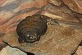 Uromastyx maliensis at the Philadelphia Zoo 01.jpg