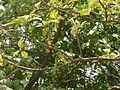 Vaazhappunna (Malayalam- വാഴപ്പുന്ന) (3623904831).jpg