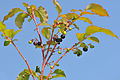 Vaccinium myrtillus - Bilberry - Maviyemiş.jpg