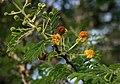Vachellia nilotica kraussiana 1.jpg