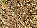 Vanellus armatus, legsel, Sunrise view, a.jpg