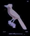 Vanga rayé – pássaro 01 AN.tif