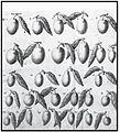 Varietà di olive da Giovanni Presta.jpg