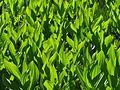 Veratrum californicum - Flickr - pellaea.jpg