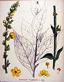 Verbascum phlomoides — Flora Batava — Volume v20.jpg