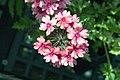 Verbena tenera Sissinghurst 3zz.jpg